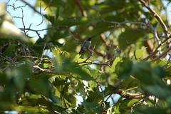 Himself the hummingbird