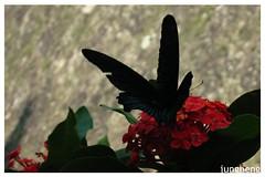 羽翅破損的鳳碟