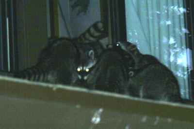 Mischevious Raccoons