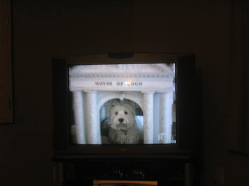 terrier on dog show i was watching