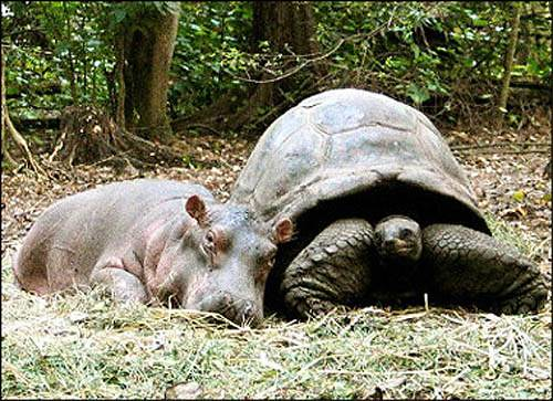Tortoise and Hippo