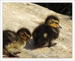 ducklings photo by EssjayNZ