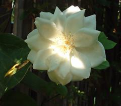 1 iceberg rose