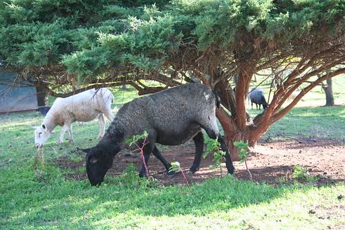 Fall Sheep at Kiparoo