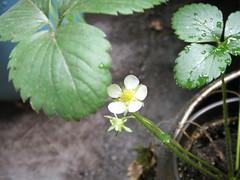 Erdbeer im September