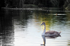 Markeaton Park:  The Ugly Duckling?