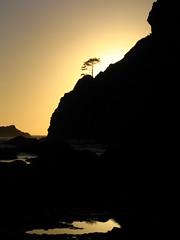 Shi Shi Beach Sunset - Solo Tree