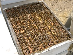 Alot of Bees