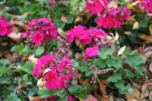 Pink Flowers, Dead Leafs