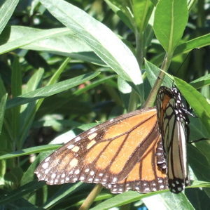 mother monarch butterfly 2
