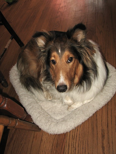 Scout curled up on his puppy bed (by Matt Stratton)