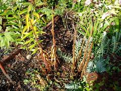 Lilium dead foliage