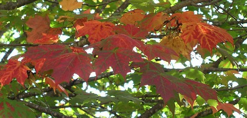 detail, leaves at Maplewood, 2003