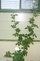 flailing_rosebush