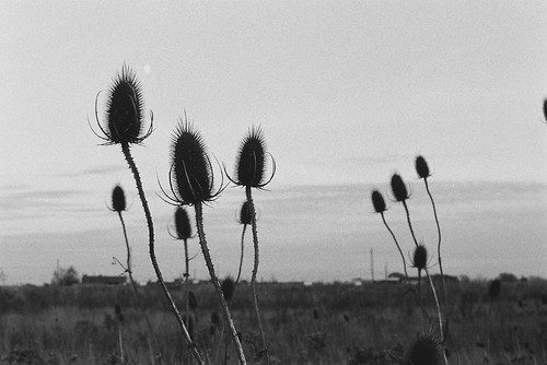 Thistles in the Sky