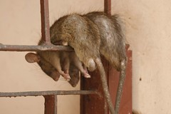 SleepingRats