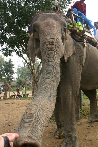 Curious elephant in Sauraha, Royal Chitwan National Park