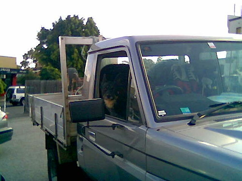 dog driving ute
