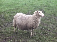 finn sheep