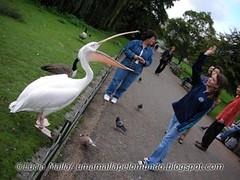 Pelicano no Hyde Park