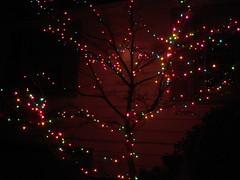 Christmas dogwood, 2006